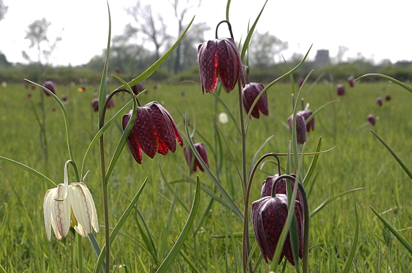 Snake's head fritillaries on Hinksey Meadow